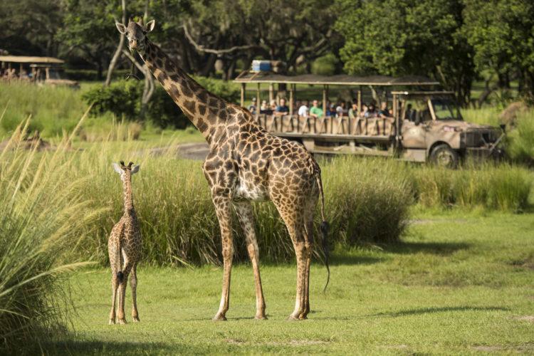 Baby Giraffe Debuts At Disney S Animal Kingdom Walt Disney World News
