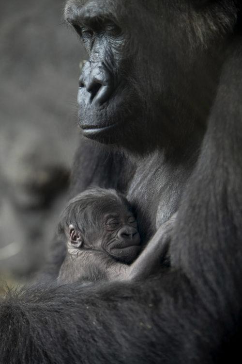 cee31a8bda5 Baby Gorilla Born at Disney's Animal Kingdom | Walt Disney World News